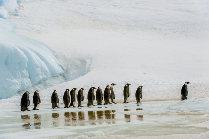 A group of emperor penguins walk over ice at Snow Hill Island in the Weddell Sea in Antarctica. U.S. officials are seeking to list the species as threatened under the Endangered Species Act due to climate change.
