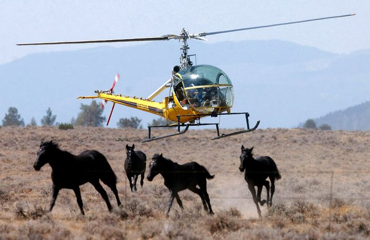 A helicopter pilot herds a group of wild horses toward a large V-shaped trap at Devils Garden at the Modoc National Forest, C