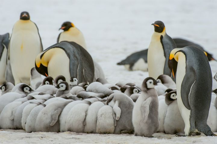 Emperor penguin chicks are seen huddling to stay warm on the sea ice at Snow Hill Island in the Weddell Sea in Antarctica.