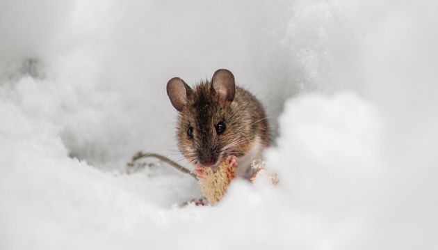 Grâce à cette méthode, un millier de souches de souris peuvent être stockées...