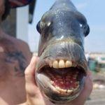 人間のような歯を持った魚が捕獲され、ネット騒然。「私の歯よりも立派かも…」