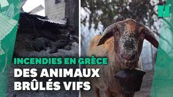 Des moutons, lapins et chiens pris au piège par les flammes en