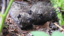 Naissance de deux lynx boréal dans les Vosges du Nord, une première depuis le 17e