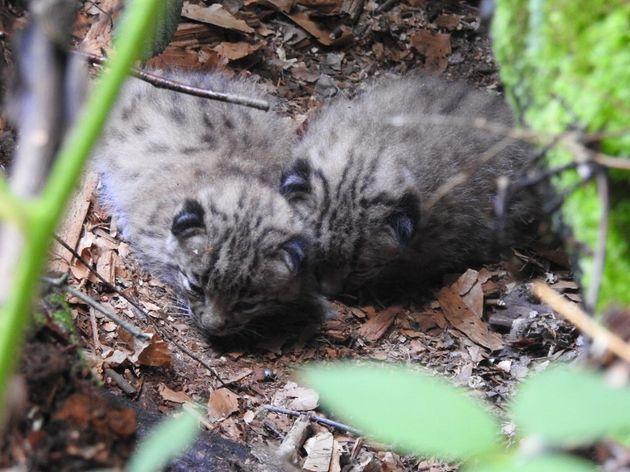 Une femelle dénommée Lycka a donné naissance aux printemps à deux