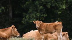 Un jeune taureau sauvé de l'abattoir dans la Loire grâce à une
