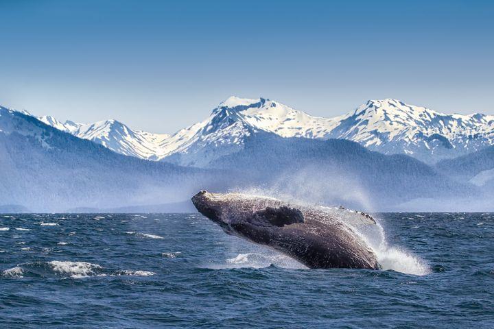 A breaching humpback whale in Glacier Bay.
