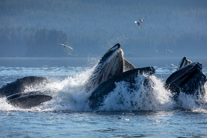 A group of whales feeding on herring in southeast Alaska.