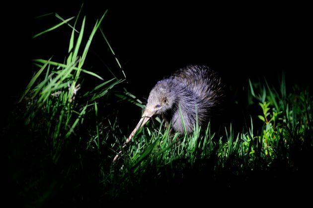 Northern Brown Kiwi in New Zealand