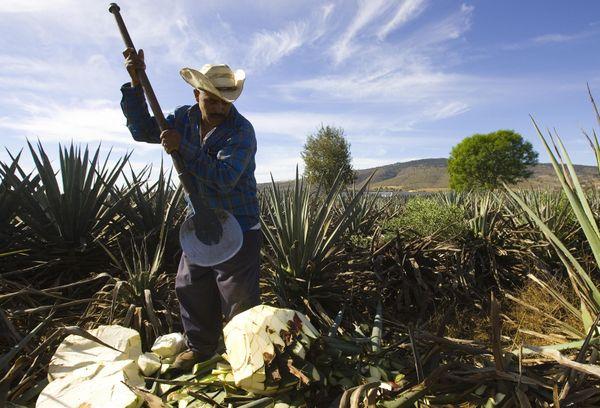 El municipio de Tequila, Jalisco, está ubicado a sólo una hora de Guadalajara y produce la gran mayoría del tequila, aunque l