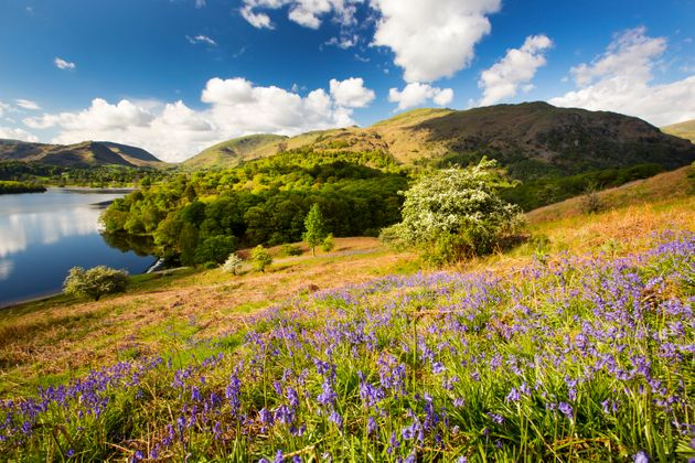 Bluebells on Loughrigg Terrace, looking towards Grasmere Lake, Lake District, UK.
