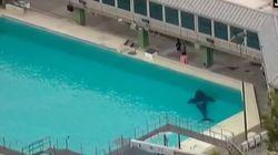 Conmoción por la repentina muerte de Amaya, la orca más joven del Sea World de San