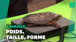De la grenouille au chameau, le zoo de Londres pèse tous ses