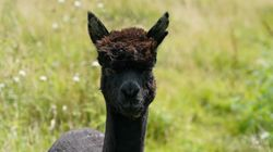 Geronimo The Alpaca Has Been 'Euthanised' By The