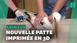 Cette cigogne vit avec une prothèse de patte imprimée en