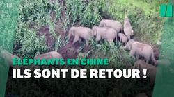 Après son périple en Chine, le troupeau d'éléphants migrateurs revient au point de