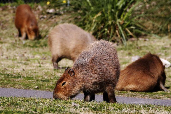 Several families of capybaras stroll through Nordelta on Aug. 26.