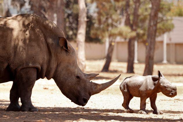 Le prix de la corne de rhinocéros a atteint les 100.000 euros le kilo au détail en Asie...