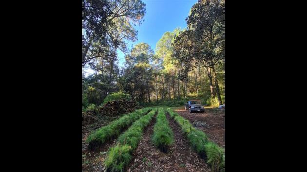 川井さんが契約するアボカド農園で、森林環境を活かしながら苗木を育てている様子。