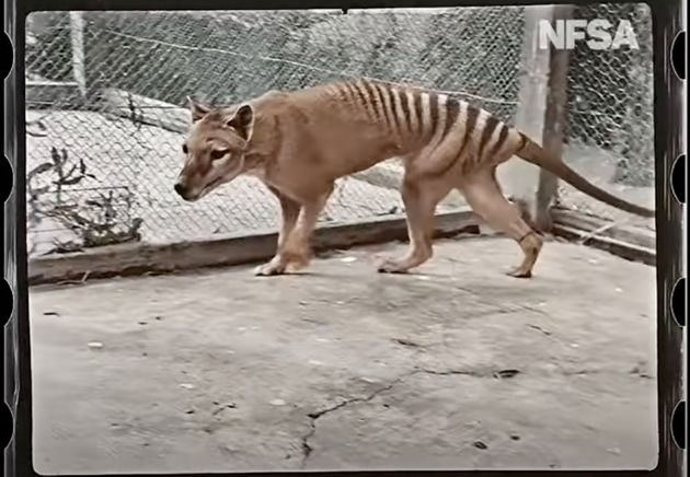 YouTubeで公開されたフクロオオカミ「最後の1匹」のカラー化映像より
