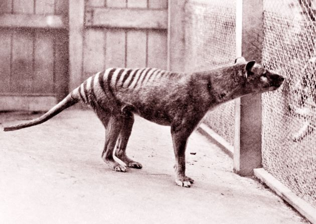 1933年にビューマリス動物園で撮影されたフクロオオカミの「ベンジャミン」