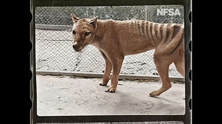 Colorized footage of the last-known Tasmanian tiger, or thylacine, called Benjamin in 1933.