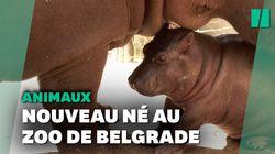 Naissance inattendue d'un bébé hippopotame au zoo de