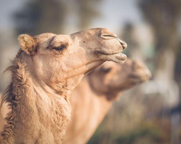 À Dubaï, des chameaux clonés pour gagner courses et concours de