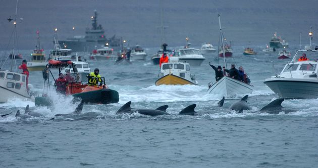 Νησιά Φερόε: Σφαγή 1.500 δελφινιών στο κυνήγι της