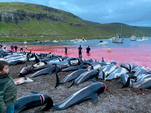Dead white-sided dolphins lay on a beach after being pulled from the blood-stained water on the island...