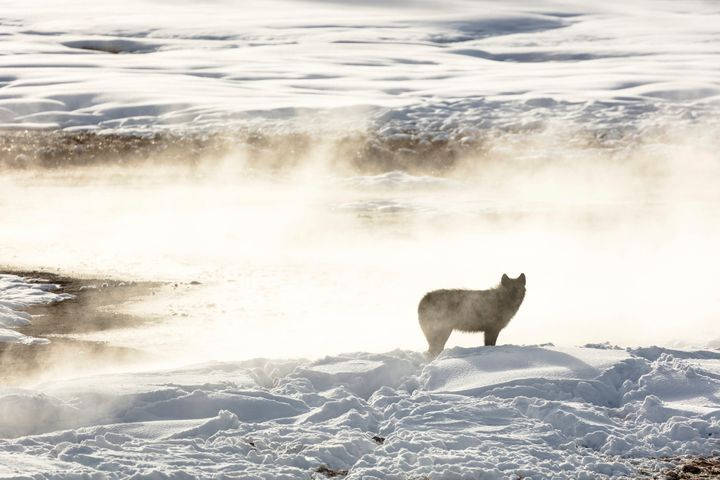 A wolf from the Wapiti Lake pack is silhouetted against a hot spring in Yellowstone National Park in 2018. Conservation and w