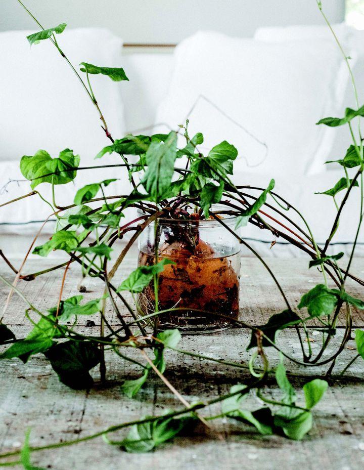 La batata (Ipomoea batatas) embellece el interior con sus múltiples tallos.