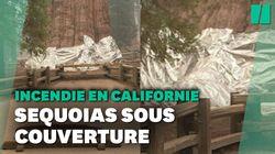 En Californie, l'étonnante technique pour protéger ces séquoias géants des