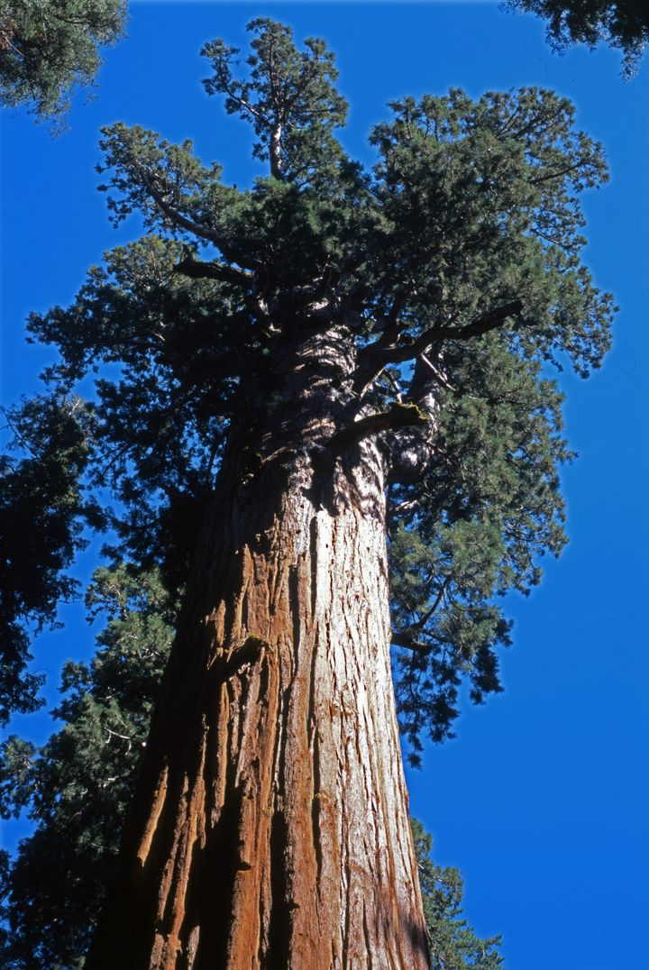 The colossal General Sherman Tree in Sequoia National Park's Giant Forest, some other sequoias, the Giant Forest Museum and other buildings were wrapped for protection against the possibility of intense flames.