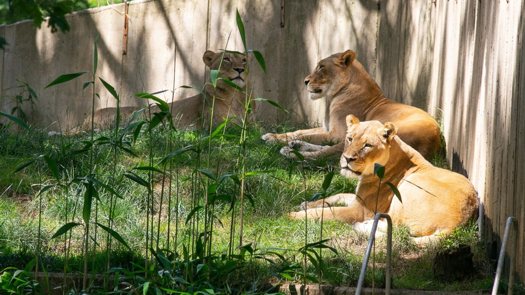 COVID-Sick Zoo Lions Fed 'Tempting' Baby Food, Chicken Broth To Amp Up Appetites