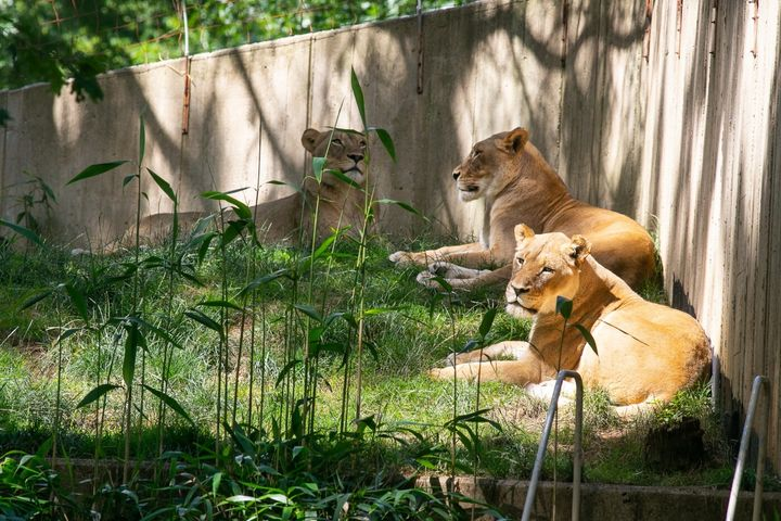 Three lionesses at the National Zoo.