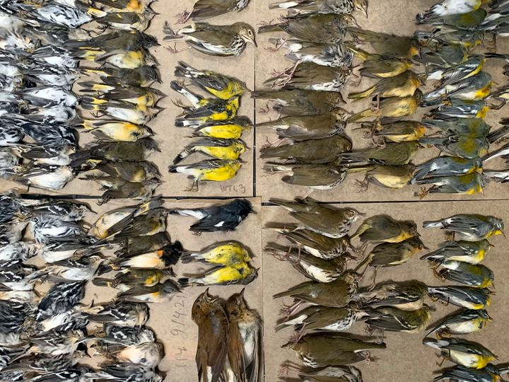 This photo provided by Melissa Breyer shows some of the dead birds collected in the vicinity of New York's World Trade Center, Tuesday, Sept. 14, 2021.