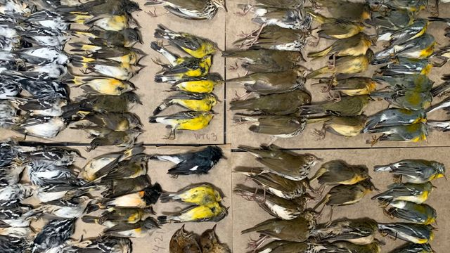 Hundreds Of Migrating Birds Die After Crashing Into NYC Buildings.jpg