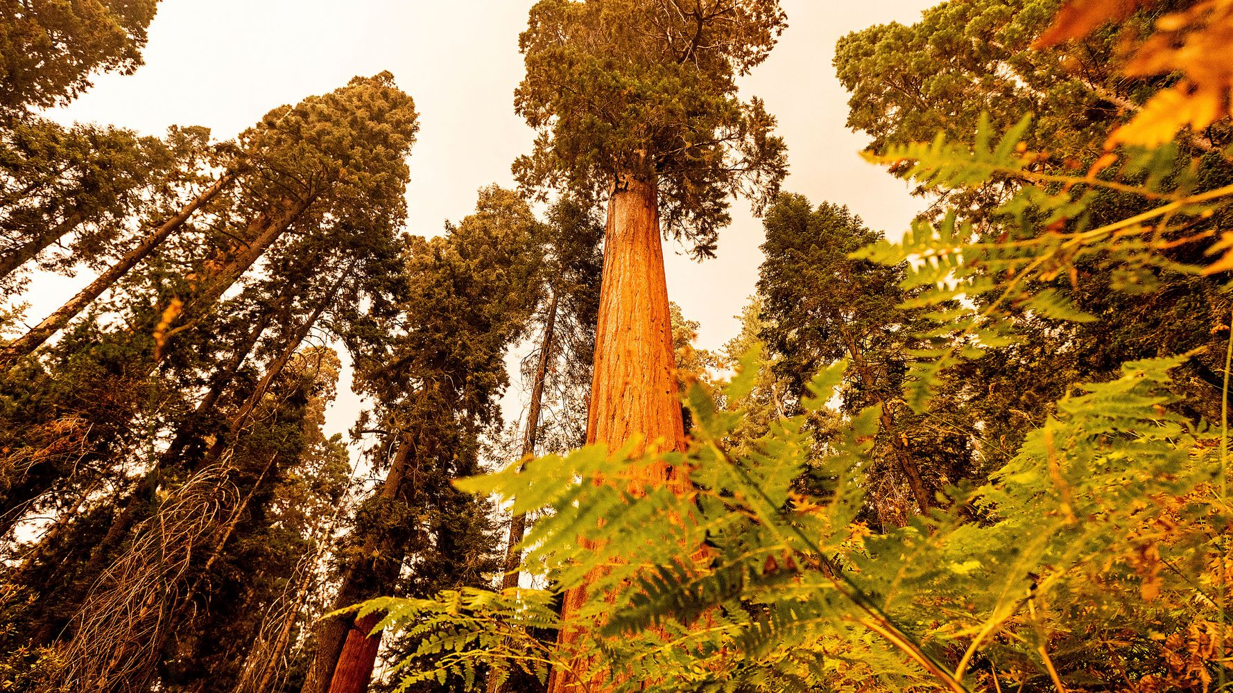 The World's Largest Tree At Risk As California Wildfires Head Toward Giant Sequoia Groves