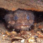 Βατραχόψαρο: Το τοξικό ψάρι που καταστρέφει την αλιεία της