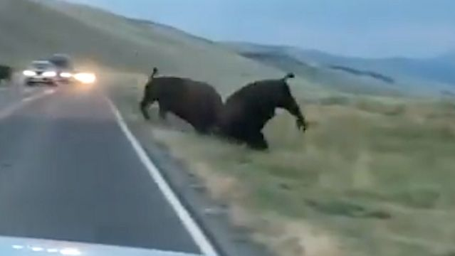 Bison Charges And Hurls Another Bison In Yellowstone Showdown.jpg