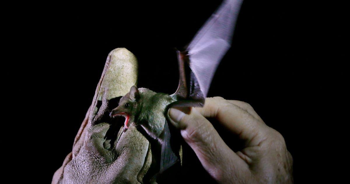 Cette découverte française sur des chauves-souris change la donne sur les origines du Covid-19