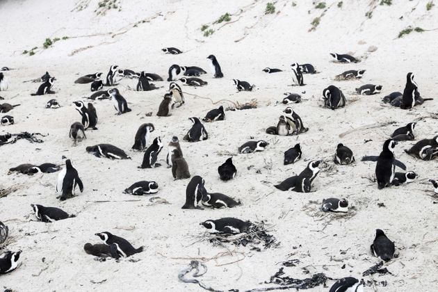 African penguins on the beach at Boulders Penguin Colony, southwest South Africa, April 25,