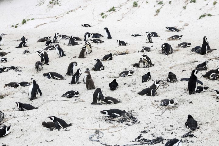 African penguins on the beach at Boulders Penguin Colony, southwest South Africa, April 25, 2021.