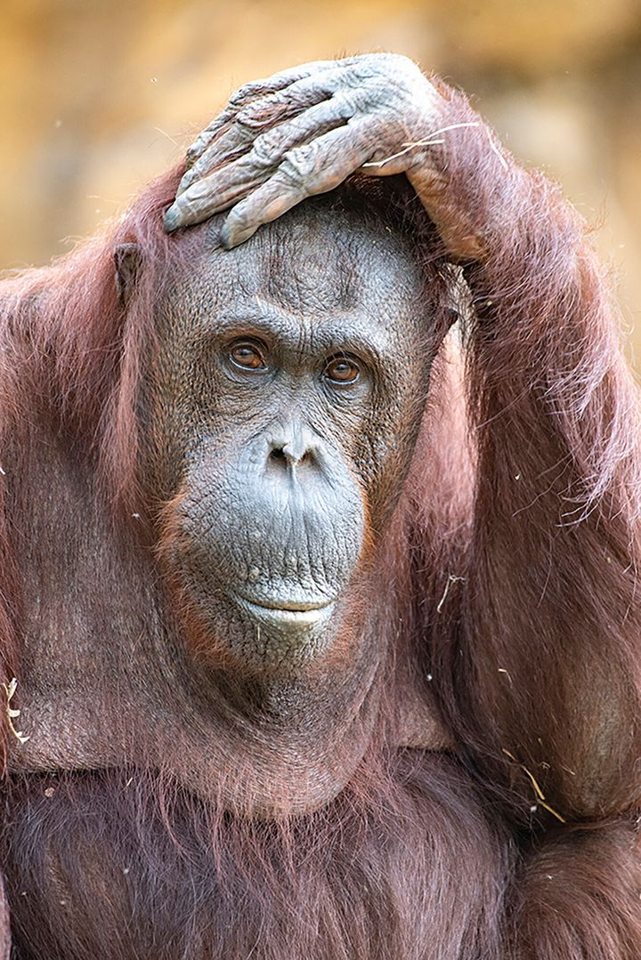 This photo provided by Zoo Miami shows orangutan Kumang, a 44-year-old Bornean orangutan who died Thursday, Sept. 23, 2021, during recovery from anesthesia. (Ron Magill/Zoo Miami via AP)