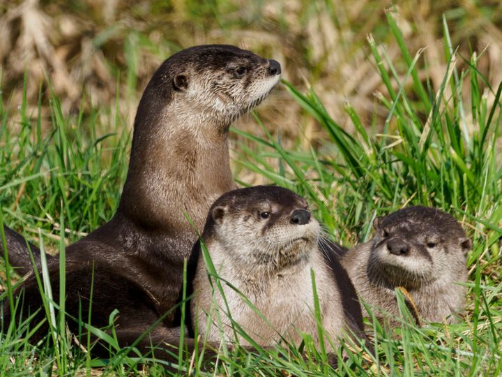 River otters.