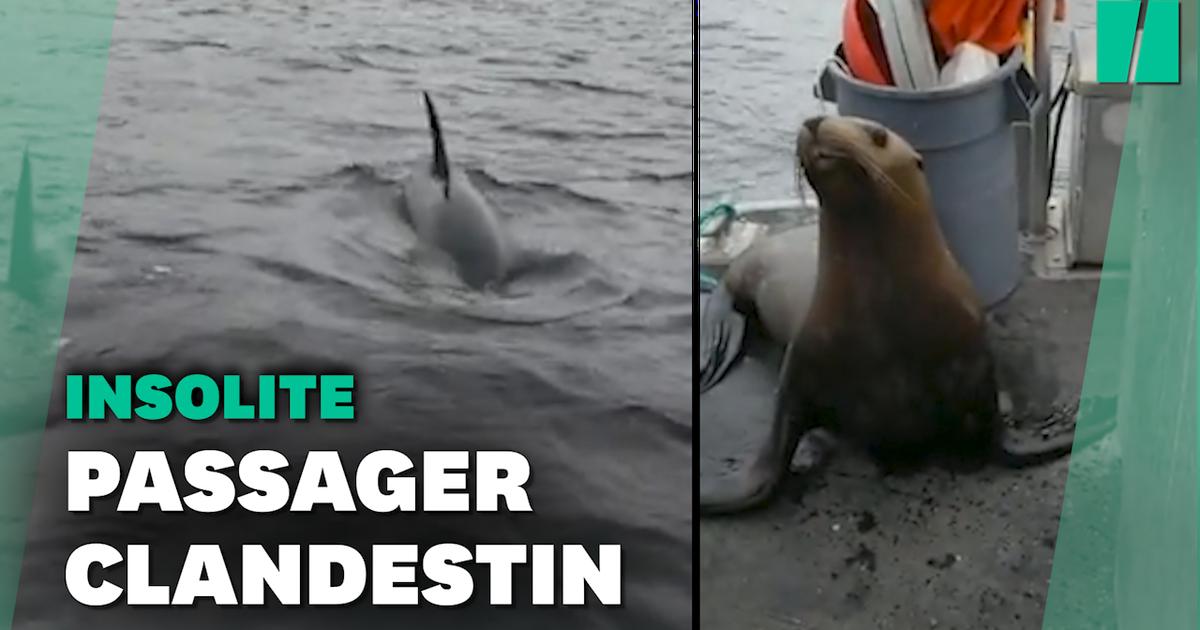 Cette femme et son bateau ont reçu la visite d'un lion de mer terrorisé par des orques