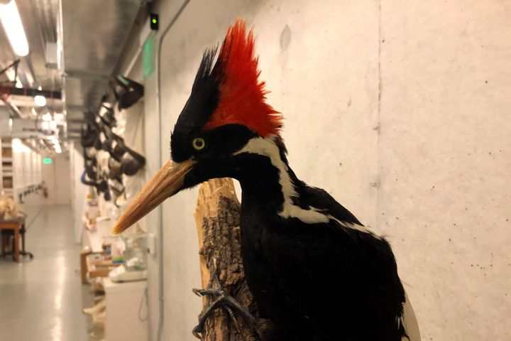 An ivory-billed woodpecker specimen is on a display at the California Academy of Sciences in San Francisco, Friday, Sept. 24, 2021. Death's come knocking a last time for the splendid ivory-billed woodpecker and 22 assorted birds, fish and other species: The U.S. government is declaring them extinct. It's a rare move for wildlife officials to give up hope on a plant or animal, but government scientists say they've exhausted efforts to find these 23. (AP Photo/Haven Daley)