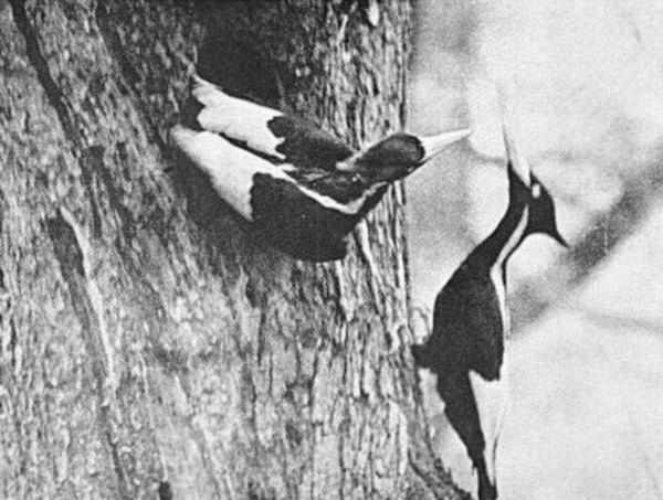 Le pic à bec ivoire aurait été vu pour la dernière fois en 1944 en