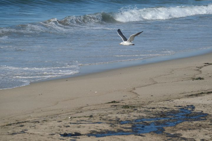 A seagull flies over oil washed up by the coast in Huntington Beach, Calif., on Sunday., Oct. 3, 2021. A major oil spill off