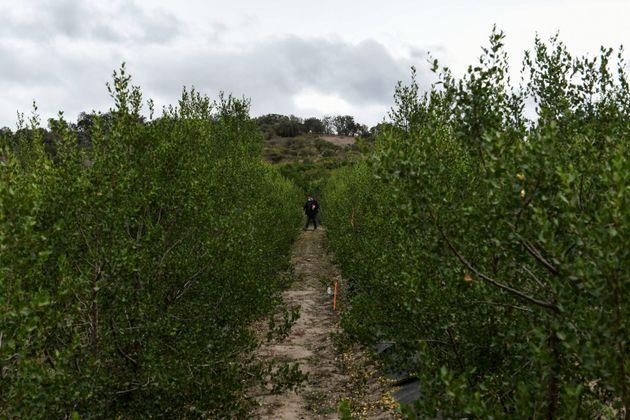 Ενα σπάνιο δέντρο στη Χιλή δίνει ελπίδα για νέα
